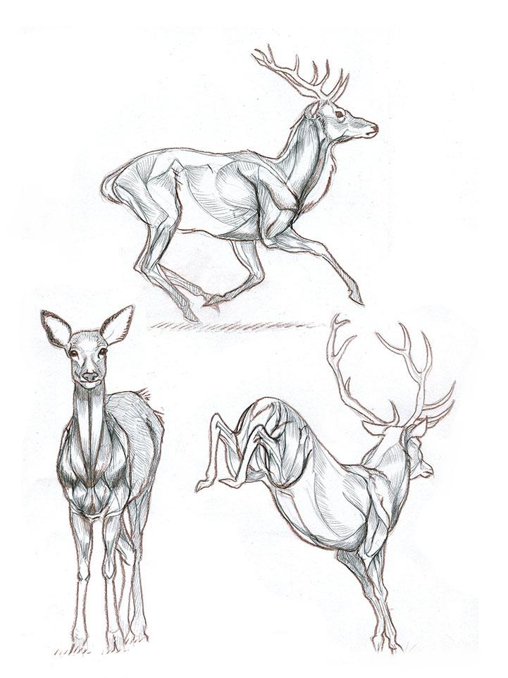 Sketch deers