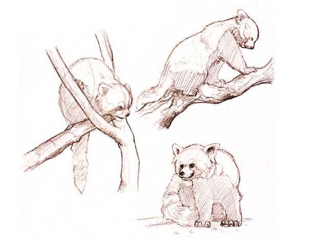 Sketch red pandas